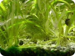 cladophora, blanket weed1