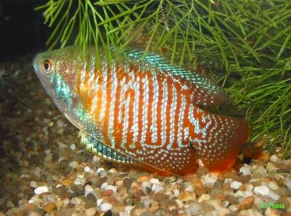 Рыбки рода Колиза