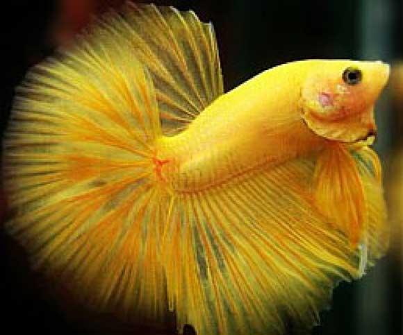 Рыбки петушки уход и содержание