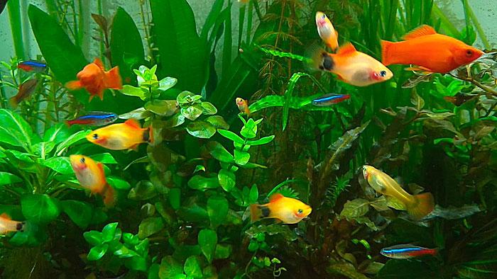 Последствия близкородственного скрещивания у рыб