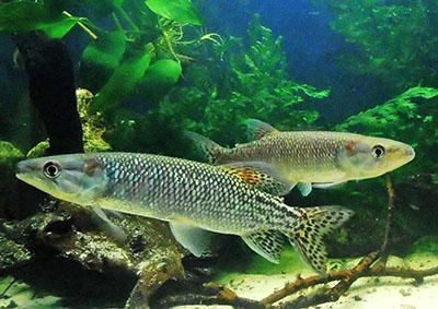 Дистиходусы в Вашем аквариуме