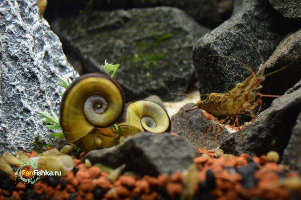 Мариза: толи улитка, толи аквариумный хомячок!?